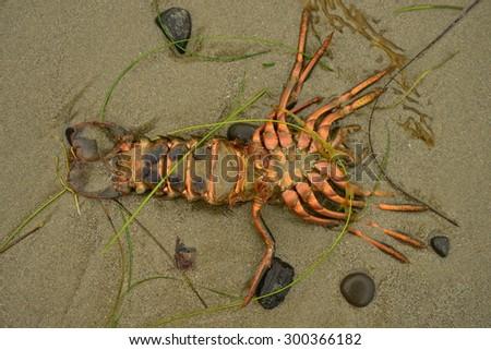 Washed up lobster on Santa Barbara Beach - stock photo