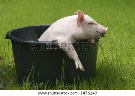 washing pig #1 - stock photo