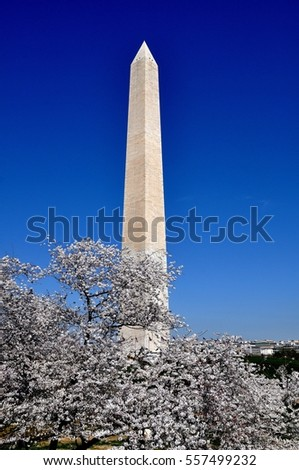 Washington, DC - April 10, 2014:  555 1/2 foot tall Washington Monument on the National Mall seen with flowering Japanese cherry trees