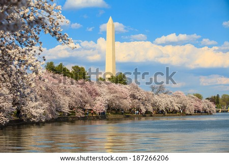 Washington DC cherry blossom and Washington Monument. - stock photo