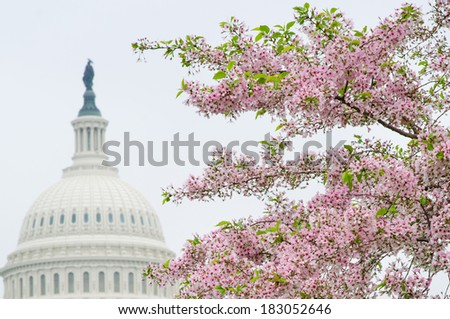 Washington DC - The Capitol building dome and cherry blossoms in spring  - stock photo