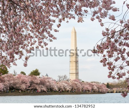 Washington Monument by Tidal Basin and surrounded by pink Japanese Cherry blossoms. Scaffolding on tower to repair earthquake damage - stock photo