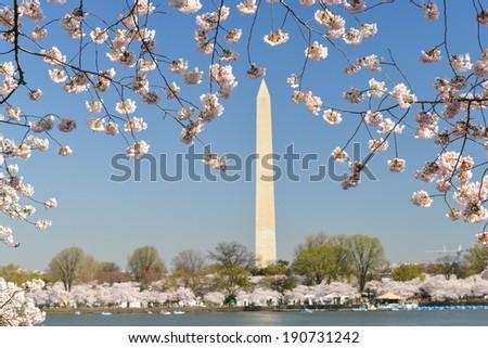 Washington Monument during Cherry Blossom Festival - Washington DC, United States  - stock photo