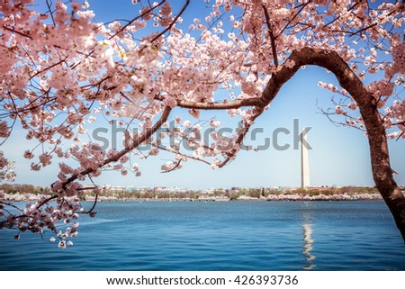 Washington Monument in Washington DC surrounded by flowering Japanese cherry blossom trees in spring on the Tidal Basin - stock photo