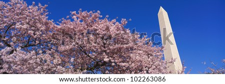 Washington Monument & spring cherry blossoms