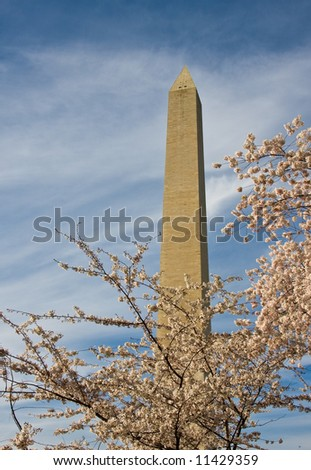 Washington Monument with a layer of cherry blossom flowers at the base - stock photo