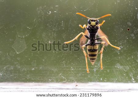 wasp at a dirty window, macro photo - stock photo