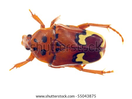 Wasp beetle isolated on white - stock photo