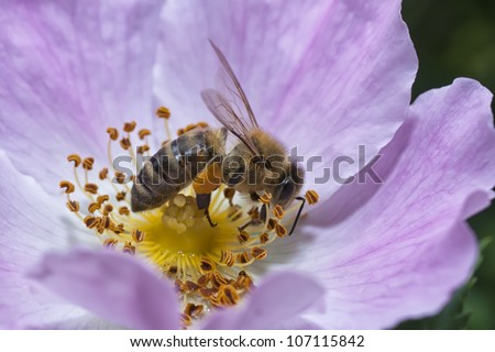 Wasp Collecting Pollen from a Wild Rose