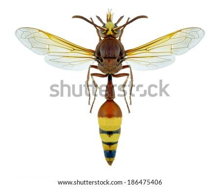 Wasp Delta unguiculatum libanicum on a white background - stock photo