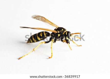 Wasp (Dolichovespula Vulgaris), macro on white background - stock photo