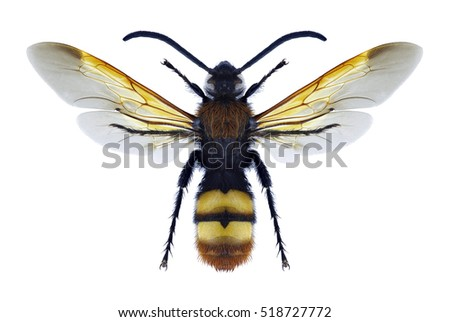 Wasp Megascolia maculata on a white background