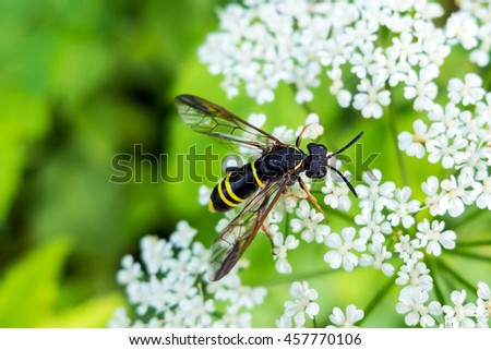 Wasp on flower eating nectar. Insect with yellow and black abdomen and a sting. The world wildlife stinging insects. - stock photo