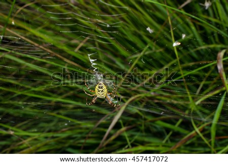 wasp spider, adult female - stock photo