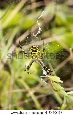 Wasp spider (Argiope bruennichi) from Lower Saxony, Germany - stock photo