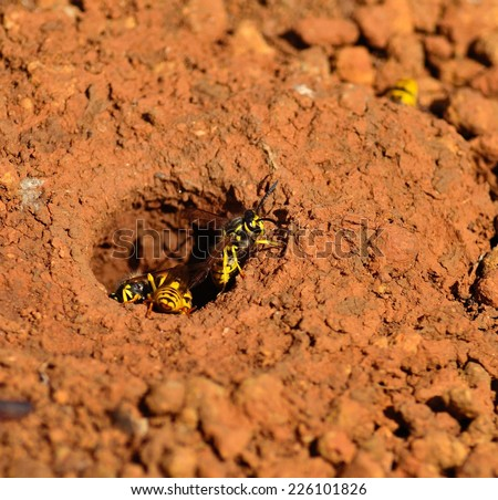 Wasp trying to get out from the underground nest - stock photo