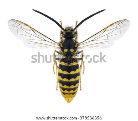 Wasp Vespula vulgaris (male) on a white background - stock photo