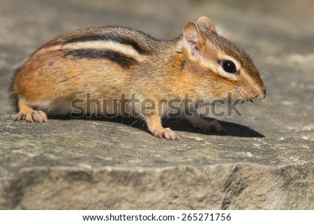 Wastern Chipmunk standing on a rock.