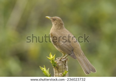 Watchful Clay-colored Thrush or Yiguirro photographed in Costa  Rica. - stock photo