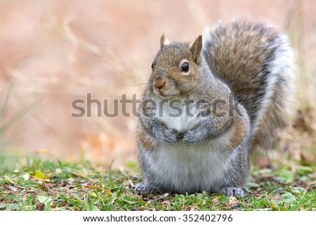 Watchful eastern gray squirrel with an autumn colored background. Plenty of room for text. - stock photo