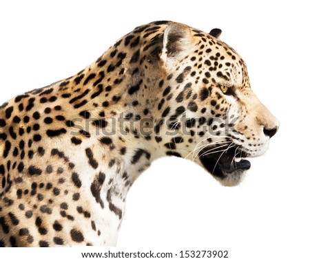 Watchful jaguar waiting for his prey. - stock photo