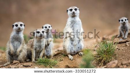 Watchful meerkats standing guard - stock photo