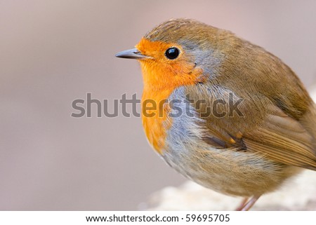 Watchful Robin Close up with Copy Space