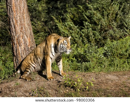 Watchful Tiger