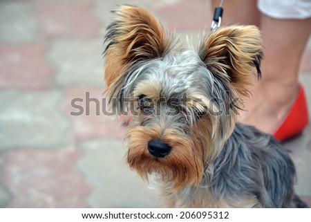Watchful Yorkshire Terrier sitting near his owners legs.