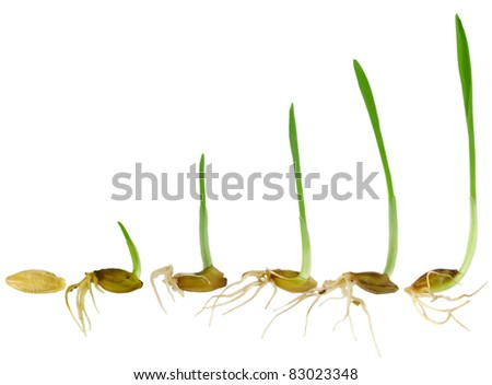 Watching blade of grass Grow, isolated on white background - stock photo