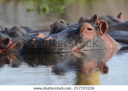 Watching hippo