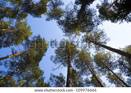 Watching on pines from ground to they treetop - stock photo