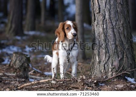 Watching welsh springer spaniel - stock photo