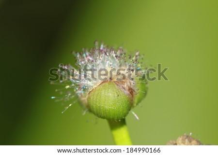 Water arrow (Sagittaria sagittifolia)  - stock photo
