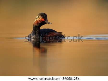 Water bird, Black-necked Grebe,Podiceps nigricollis, mature male in colorful breeding plumage on calm water surface against orange background, photo from water level taken by floating hide.  - stock photo