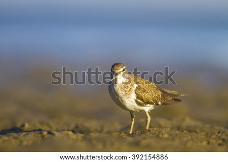 water birds Common Sandpiper / Actitis hypoleucos - stock photo