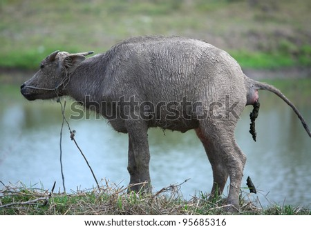 water buffalo - stock photo