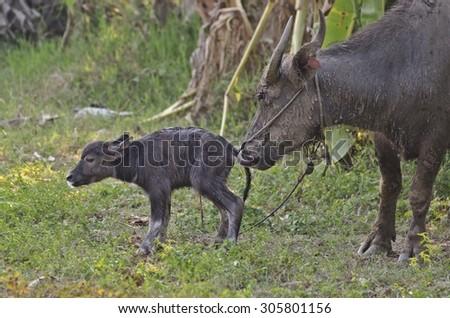 Water buffalo and baby - stock photo