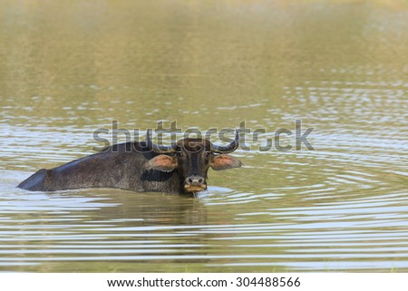 Water buffalo are bathing in a lake in Sri Lanka - stock photo