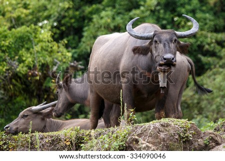 Water Buffalo in Chin State, Myanmar (Burma) - stock photo