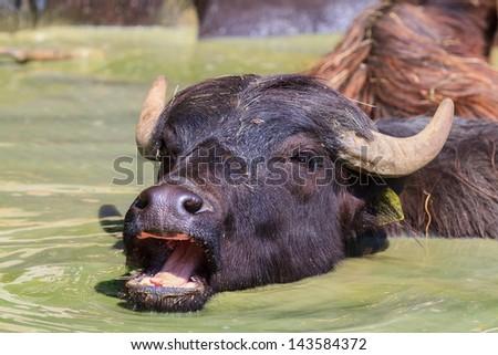 Water buffalo in detail - stock photo