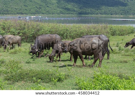 Water buffalo in the grass field
