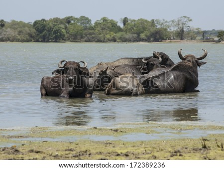 Water buffalo's are bathing in a lake in near Yala NP in Sri Lanka - stock photo