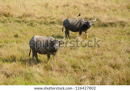 Water buffaloes in Thailand