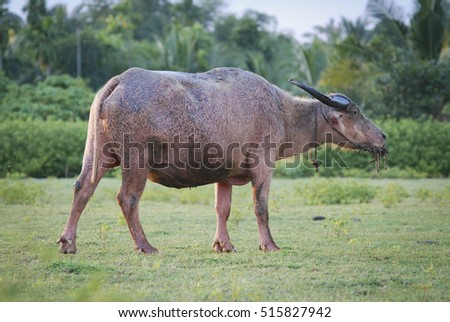 Water buffalow eat grass on the field, it's very popular on south east asia
