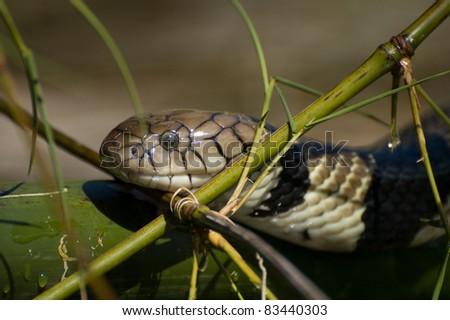 Water Cobra - stock photo