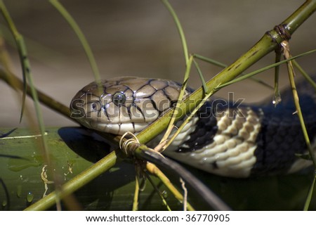 Water Cobras - stock photo