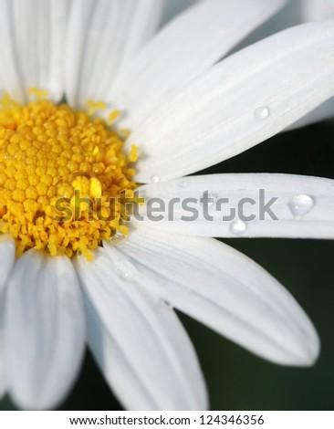 water dew drop on daisy flower - stock photo