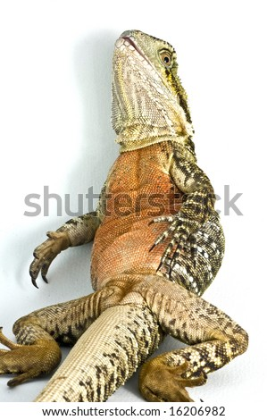 Water dragon sitting on back reclining in isolated white background