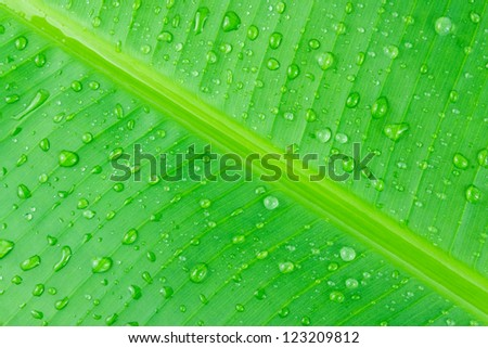 Water drop on green banana leaf texture. - stock photo